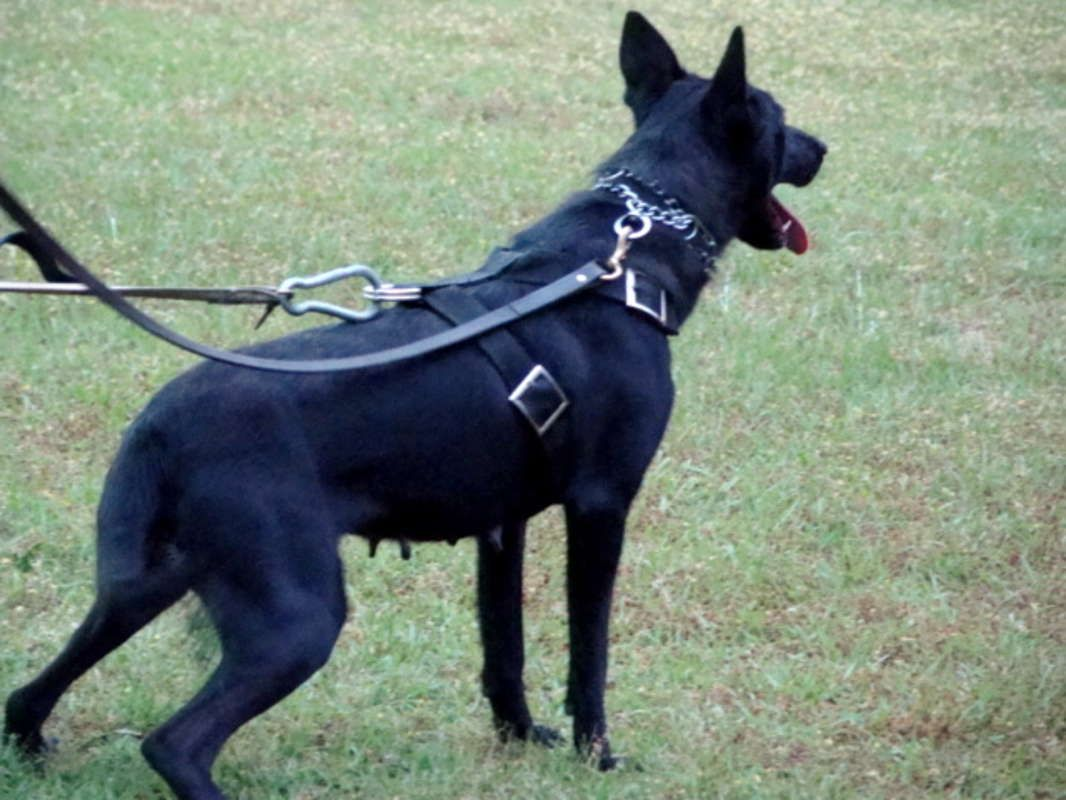 Black Belgian Malinois Female in Tar Heel, North Carolina
