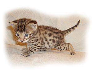Savannahs For Sale Savannah Cats For Sale I Want One Hybrid Cat Savannah Cat African Serval Cat