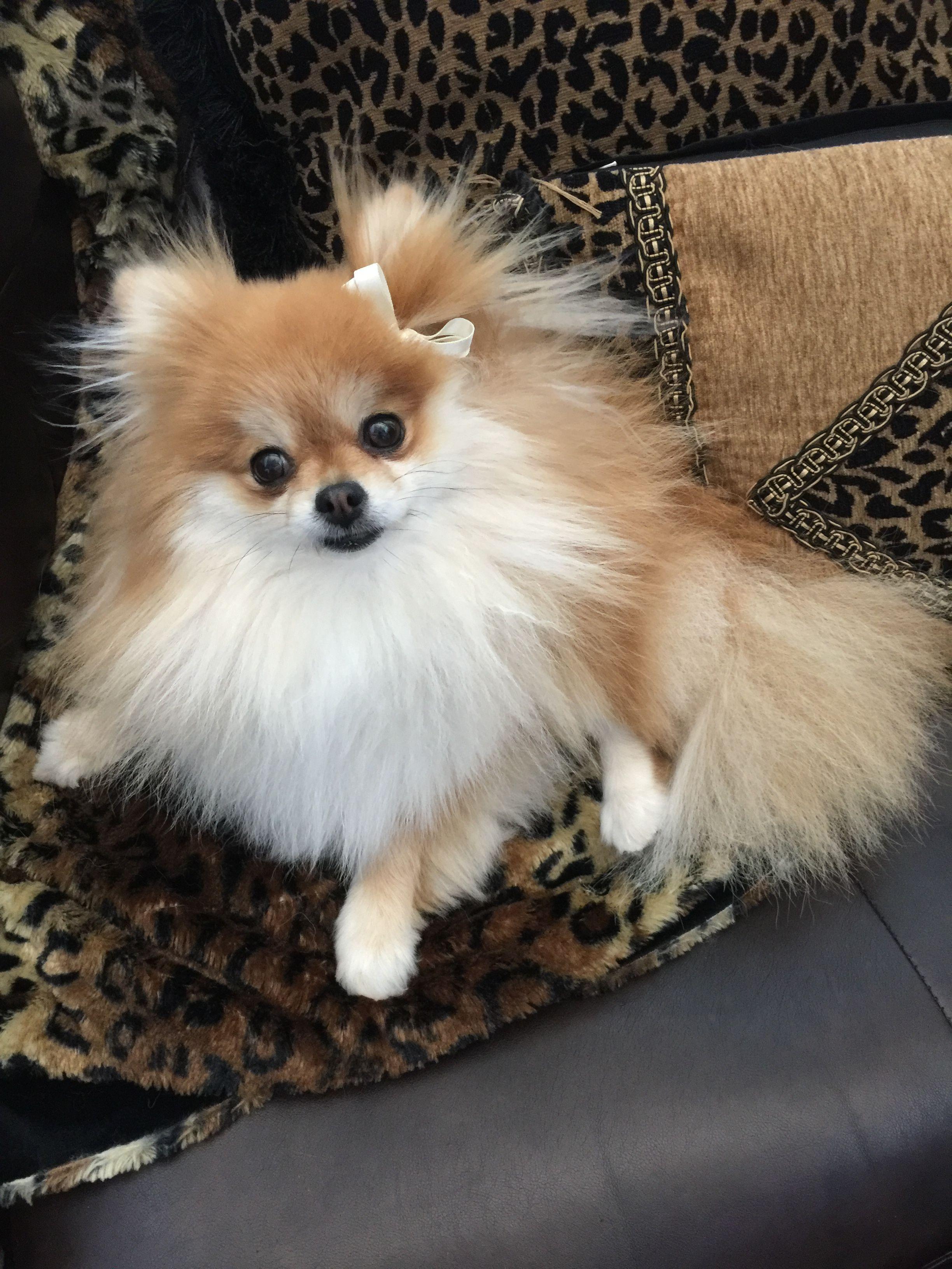 Princess Peach Pomeranian Puppy Puppies Beautiful Dogs