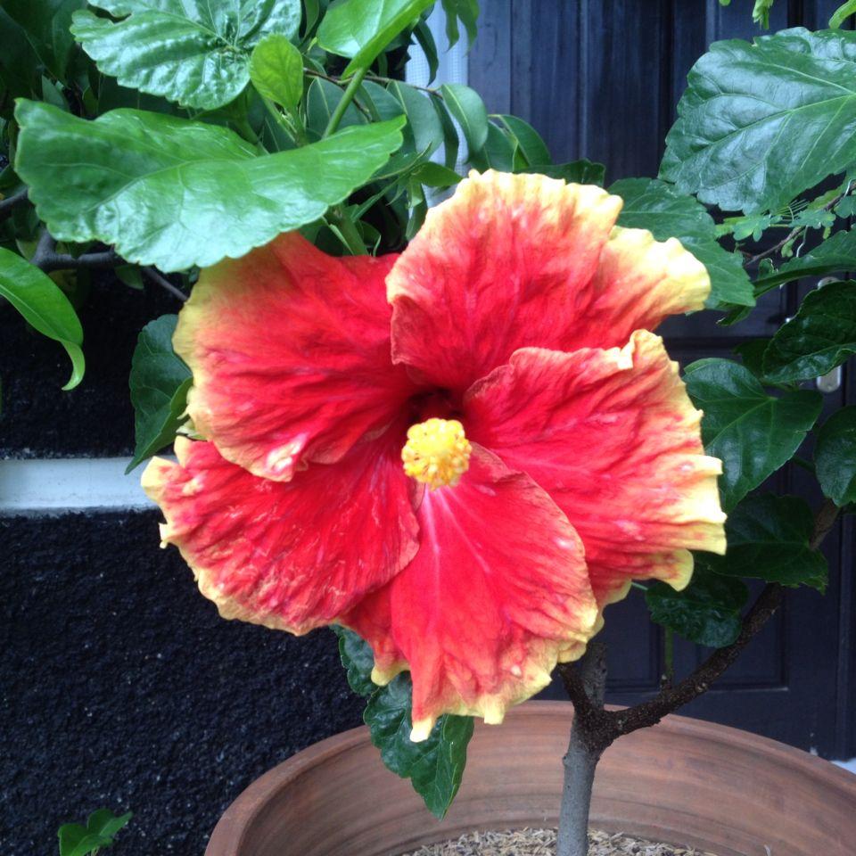 Bunga Sepatu Depan Rumah Tropical Flowers Flowers Plants
