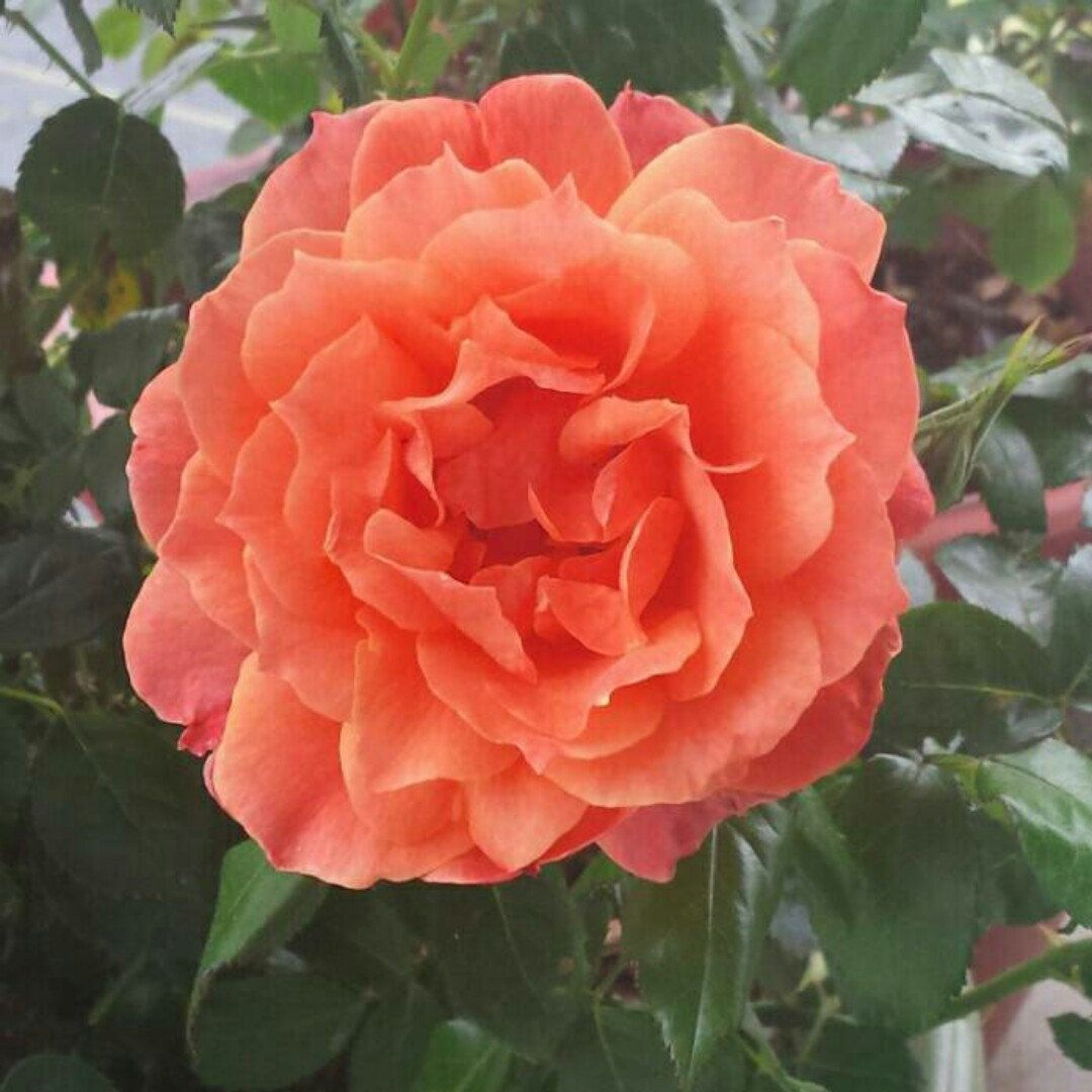 Love Garden Roses: Just Love This Rose! Living Easy Rose Is Really Easy To