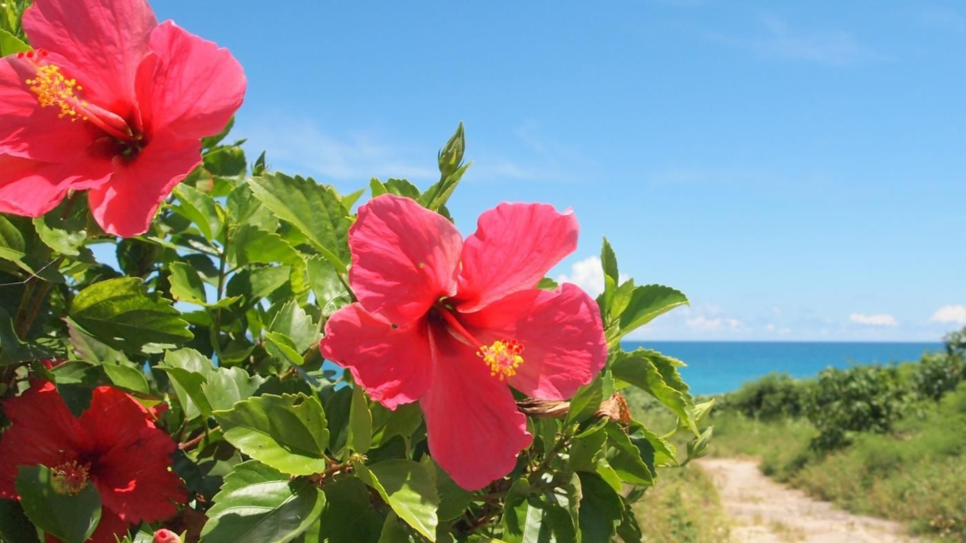 What Is The Meaning Of Hibiscus Flowers Hibiscus Tree Asian Flowers Hibiscus Flower Meaning