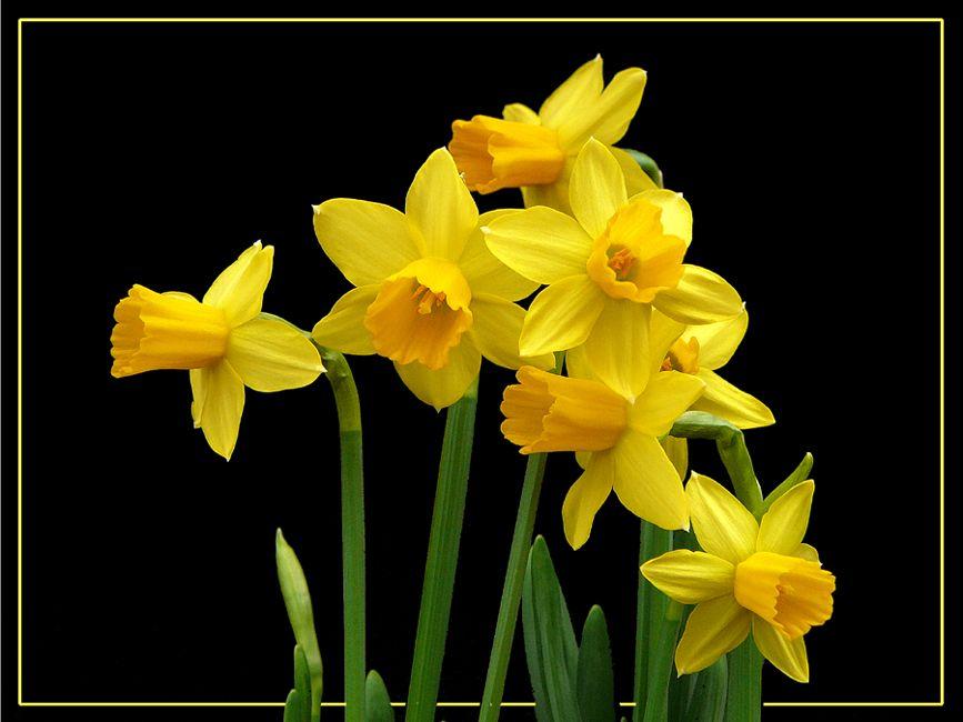 Fiori Gialli Simili Al Narciso.034 Narcisi Giunchiglie Daffodils Di Bernardo Braccini Narcisi