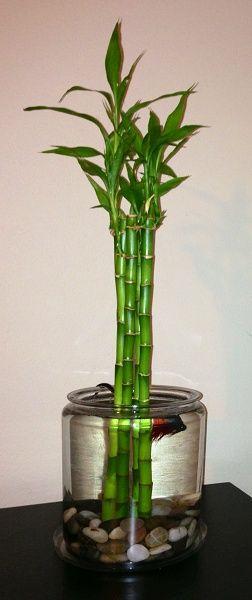 Lucky Bamboo Betta Bowl Will Be Doing Something Similar