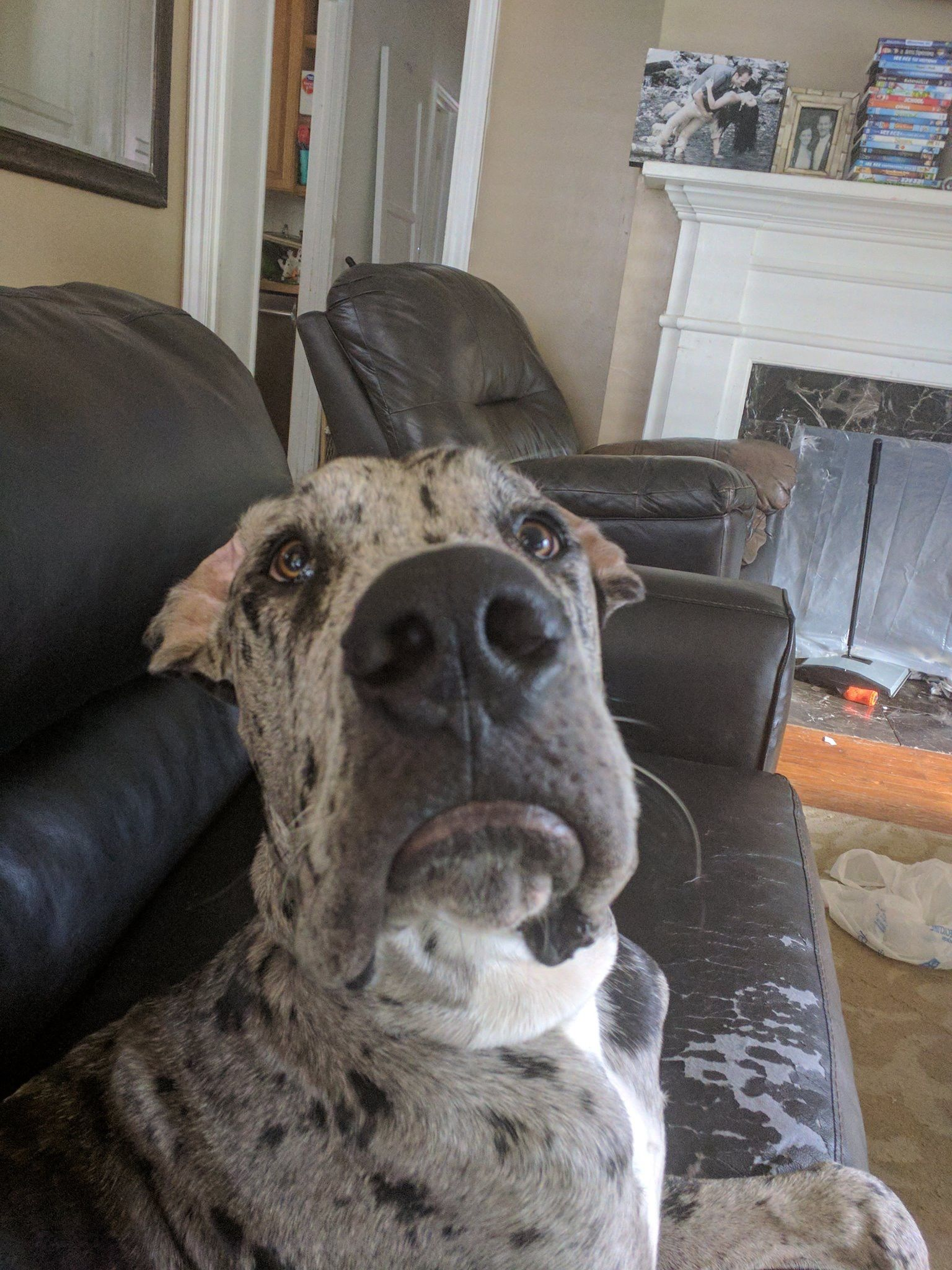 Pin By Bonnie Nordlund On Great Dane Dogs Great Dane Dogs Baby