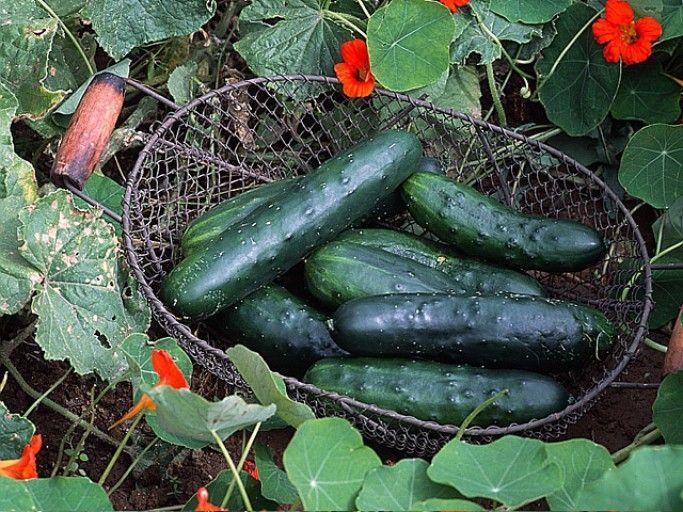 Comment planter le concombre : les bons gestes | Planter ...