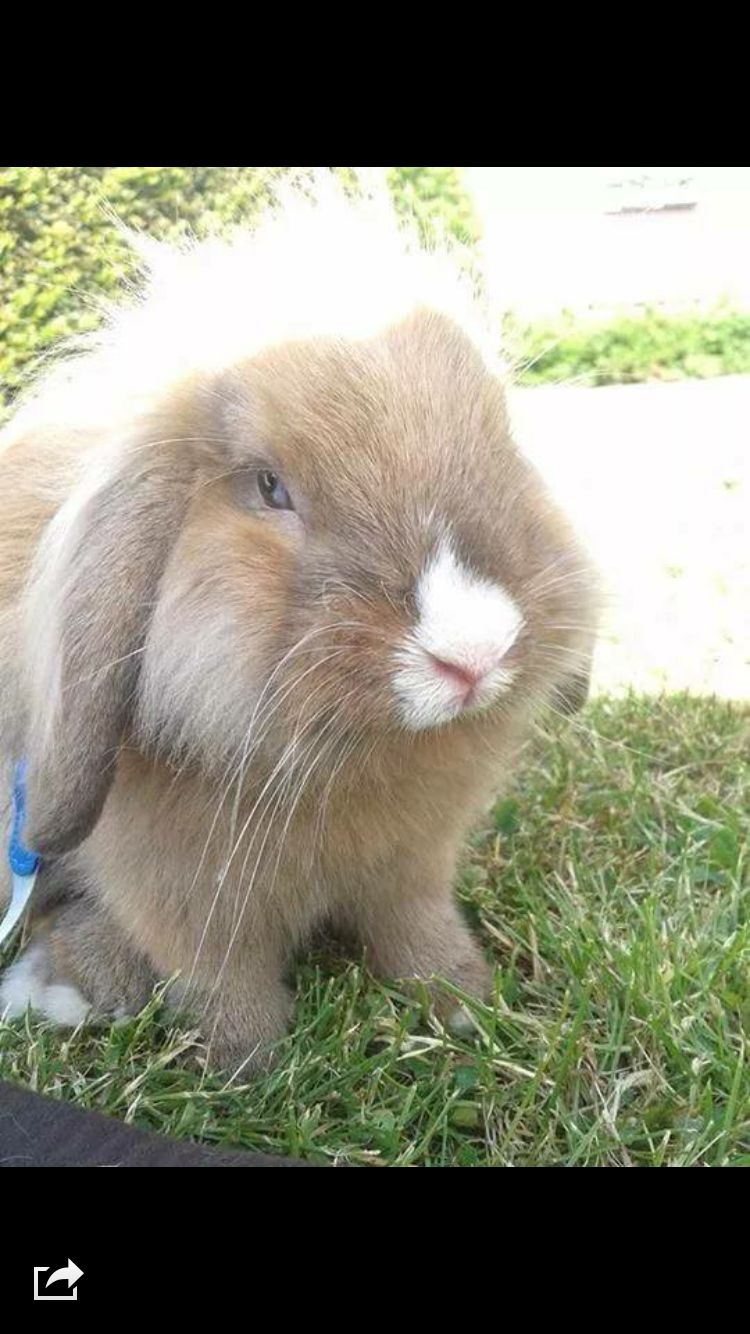 Far-mand til Bunny  Han er en sød og dejlig mand han er: Løvehoved - drægvædder med et blå øje og det andet lysebrunt dejlig blød pels og så rolig i sit sind❤️