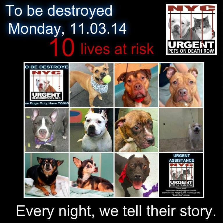 TO BE DESTROYED: 10 Dogs to be euthanized by NYC ACC- MON. 11/02/14. This is a HIGH KILL shelter group. YOU may be the only hope for these pups! ****PLEASE SHARE EVERYWHERE!!! To rescue a Death Row Dog, Please read this:  http://urgentpetsondeathrow.org/must-read/    To view the full album, please click here:    https://www.facebook.com/media/set/?set=a.611290788883804.1073741851.152876678058553&type=3