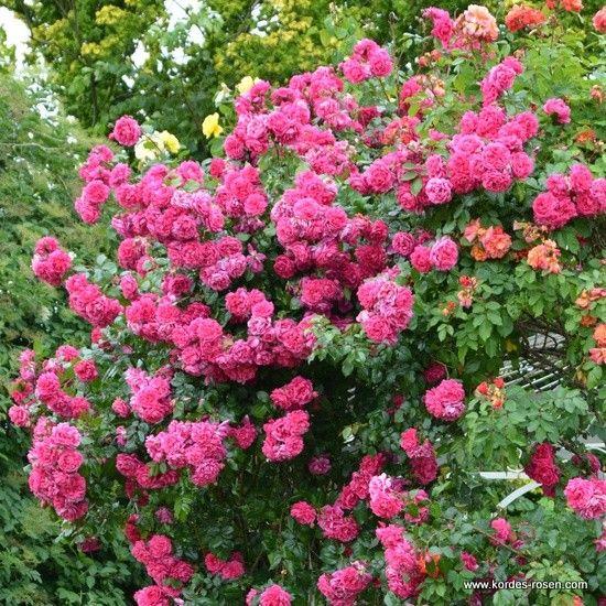 kordes laguna climbing rose roses pinterest rose. Black Bedroom Furniture Sets. Home Design Ideas