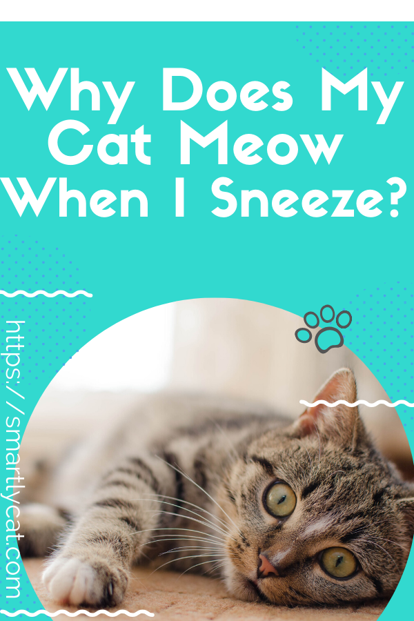 Why Does My Cat Meow When I Sneeze In 2020 Cats Meow Cat Care Cats