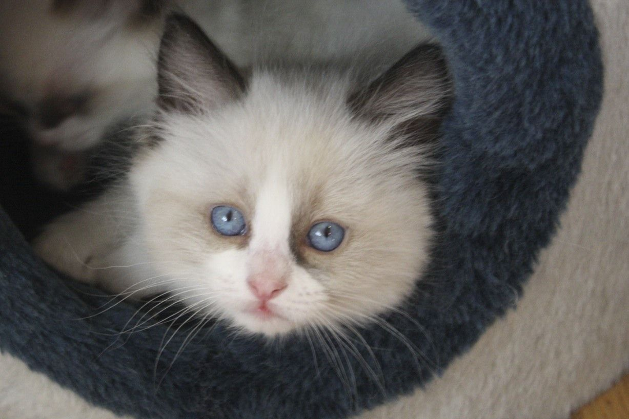 Ragdoll kitten This is a picture of one of our Ragdoll