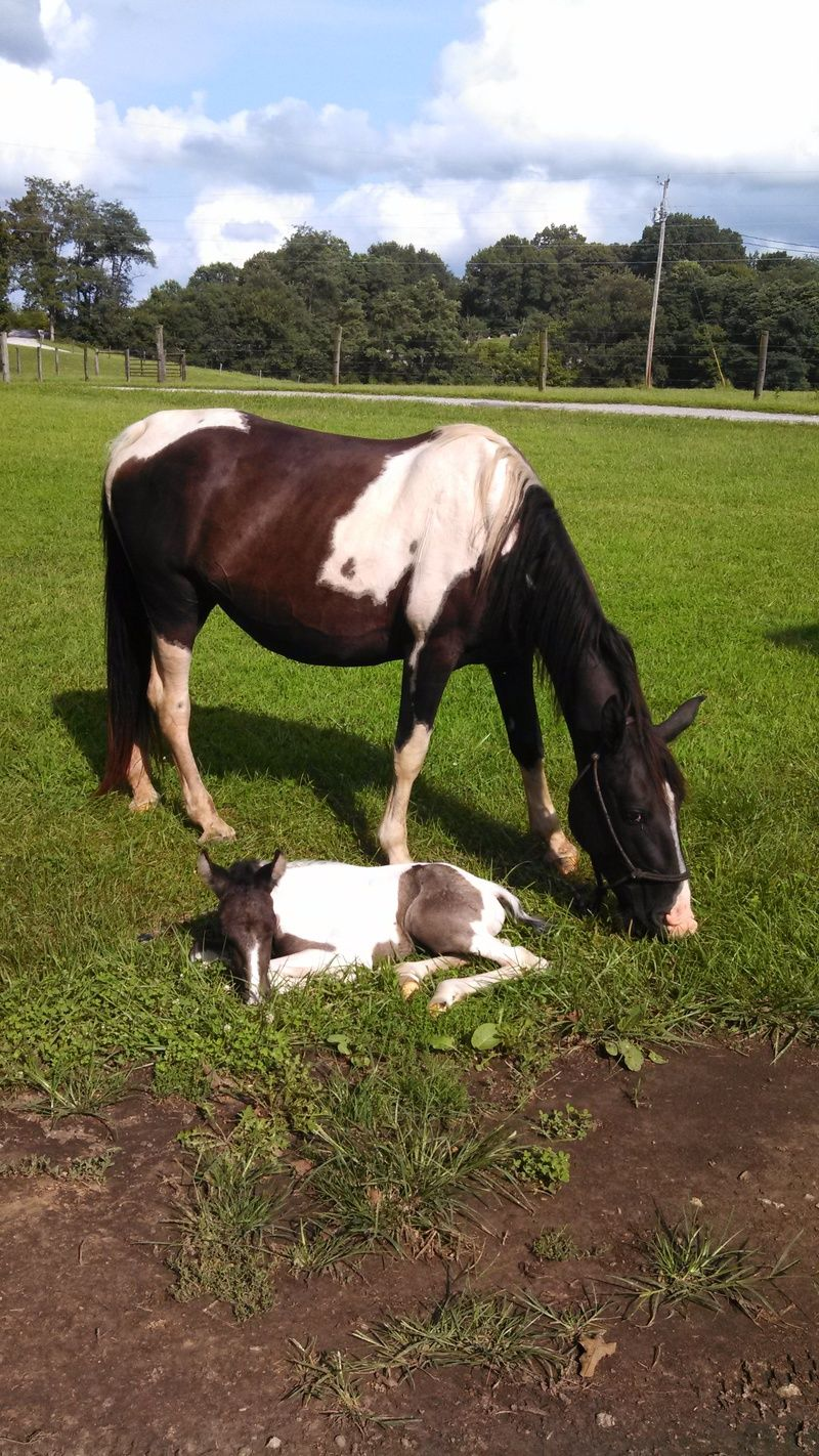Cinderella is a wonderful super sweet loving registered TWH mare. She came from a farm where she and her unborn foal were going to slaughter. She has gained a substantial amount of weight and is such a lover. Broke to ride and easy to handle. She...Real Dog RsQ Inc. in #Munfordville, #Kentucky