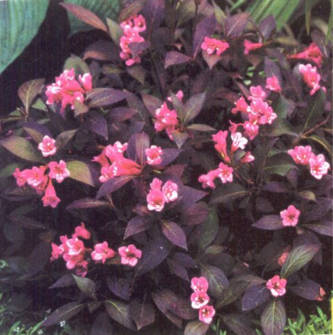 A Lovely Small Shrub With Burgundy Foliage Pink Flowers Weigela