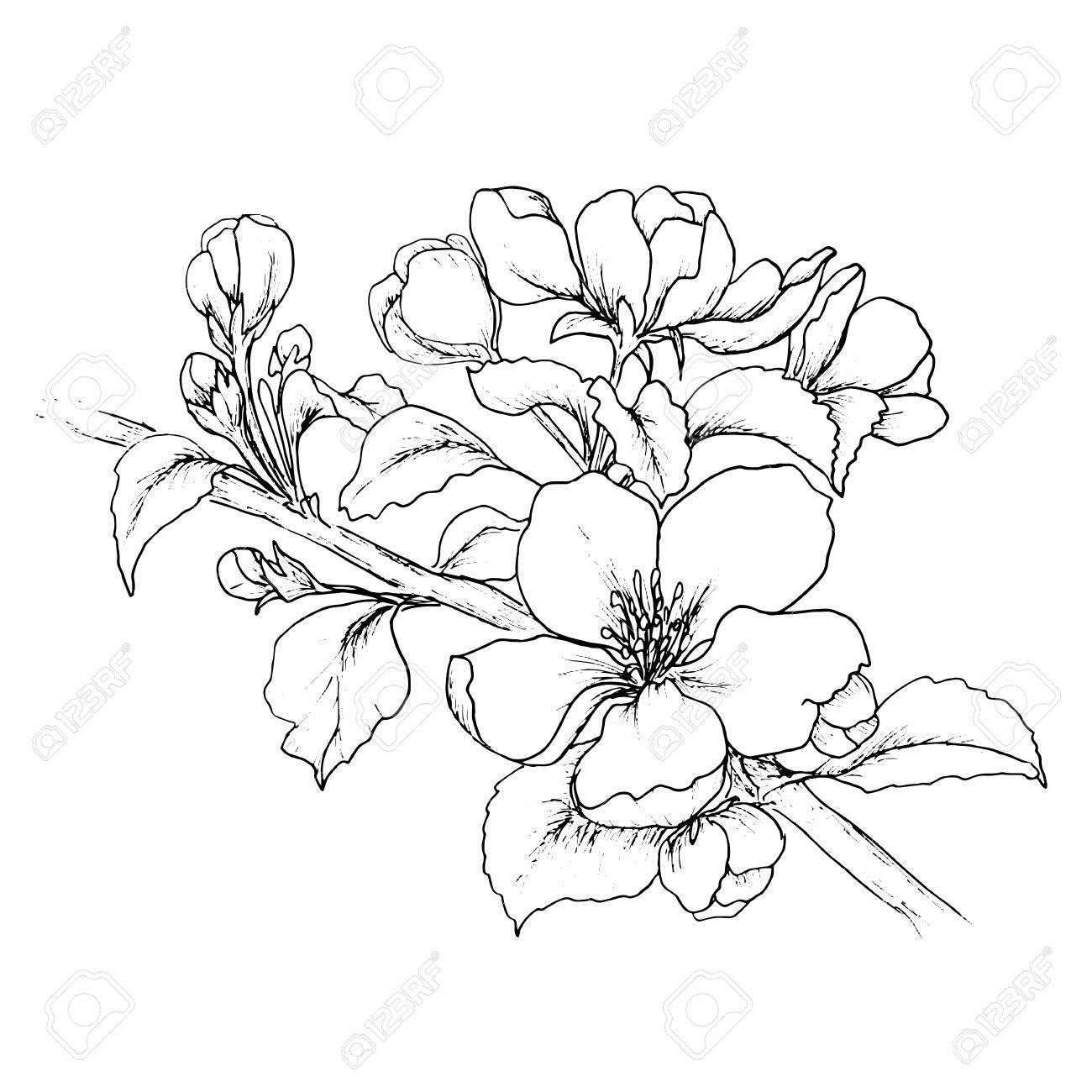 Main Branche Dessinee De Fleur De Cerisier Isole Sur Fond Blanc Banque D Images 54447694 Croquis De Fleurs Peinture De Cerisiers En Fleur Dessin De Fleur