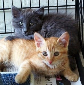San Antonio Feral Cats Has Cats That Have Been Rescued And Are Available For Adoption Cat Adoption Feral Cats Cats