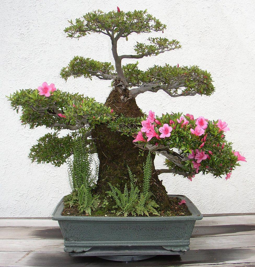 bonsai bonsai collection bonsai bonsai baum und baum. Black Bedroom Furniture Sets. Home Design Ideas