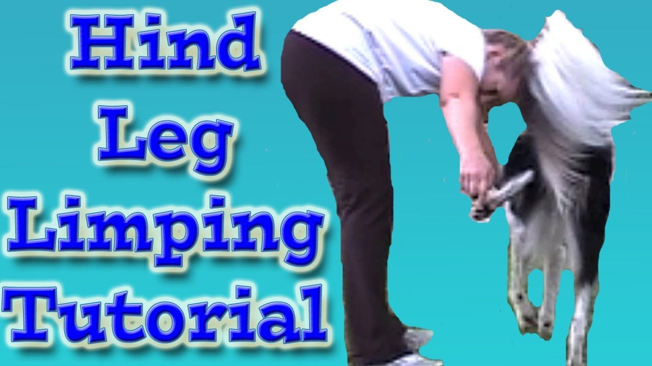 Dgs Amazing Trick Limp With The Hind Leg Clicker Dog Trick