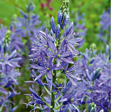 Camassia leichtlinii blauwe donau white flower farm flower farm camassia leichtlinii blauwe donau white flower farm i went there last year and saw mightylinksfo Gallery