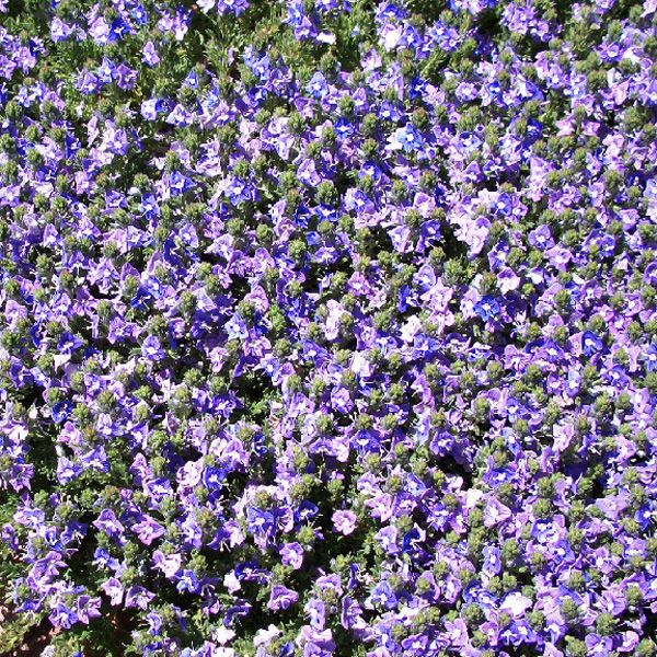Wooly Veronica Veronica Pectinata Rubra This Creeper Is An