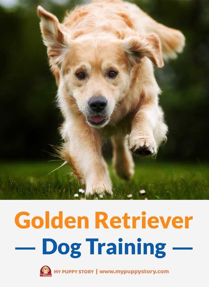 Golden retriever dog training my puppy story dogs