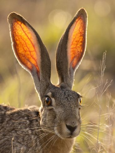 Jack Rabbit Usa >> Close Up Of Black Tailed Jackrabbit Maverick County Texas