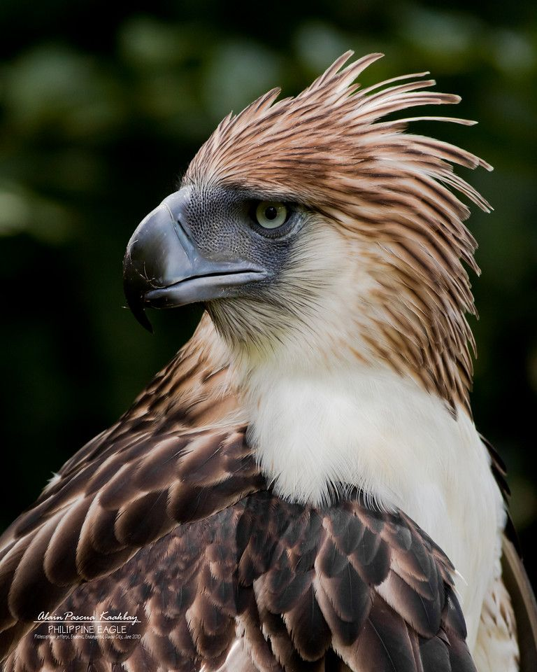 A Great Image Philippine eagle, Bird species, Eagle