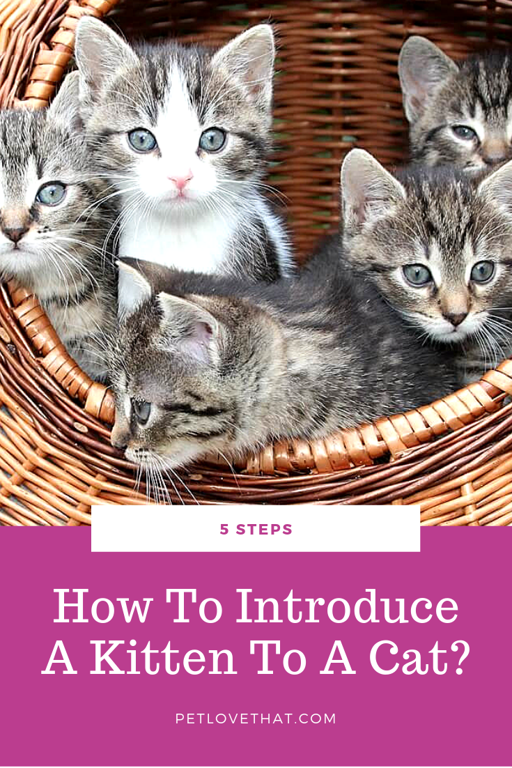 5 Steps How To Introduce A Kitten To A Cat Kittens Cat Adoption Cat Questions