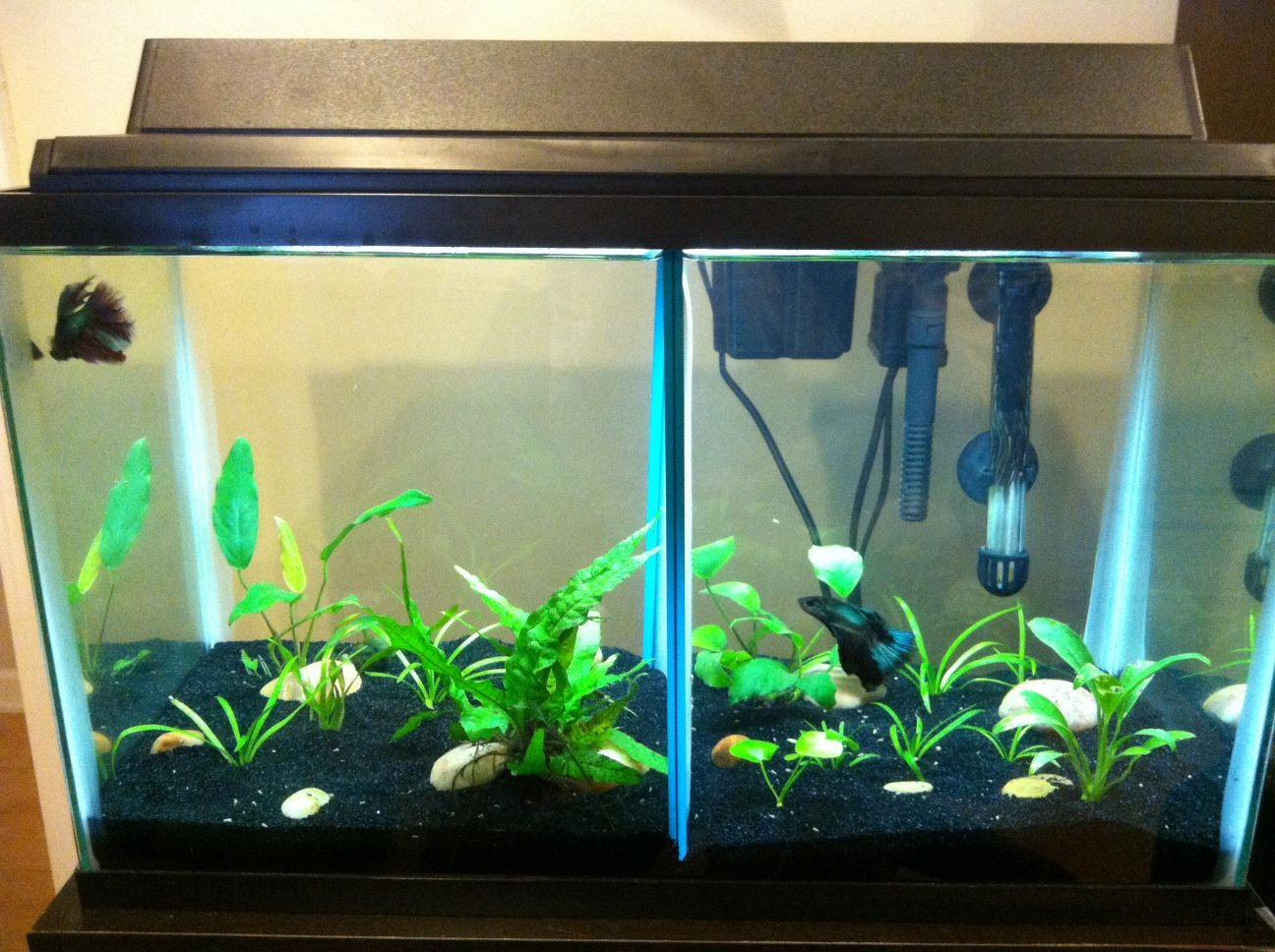10 Gallon Split Betta Tank Betta Fish Tank Betta Tank Betta Fish