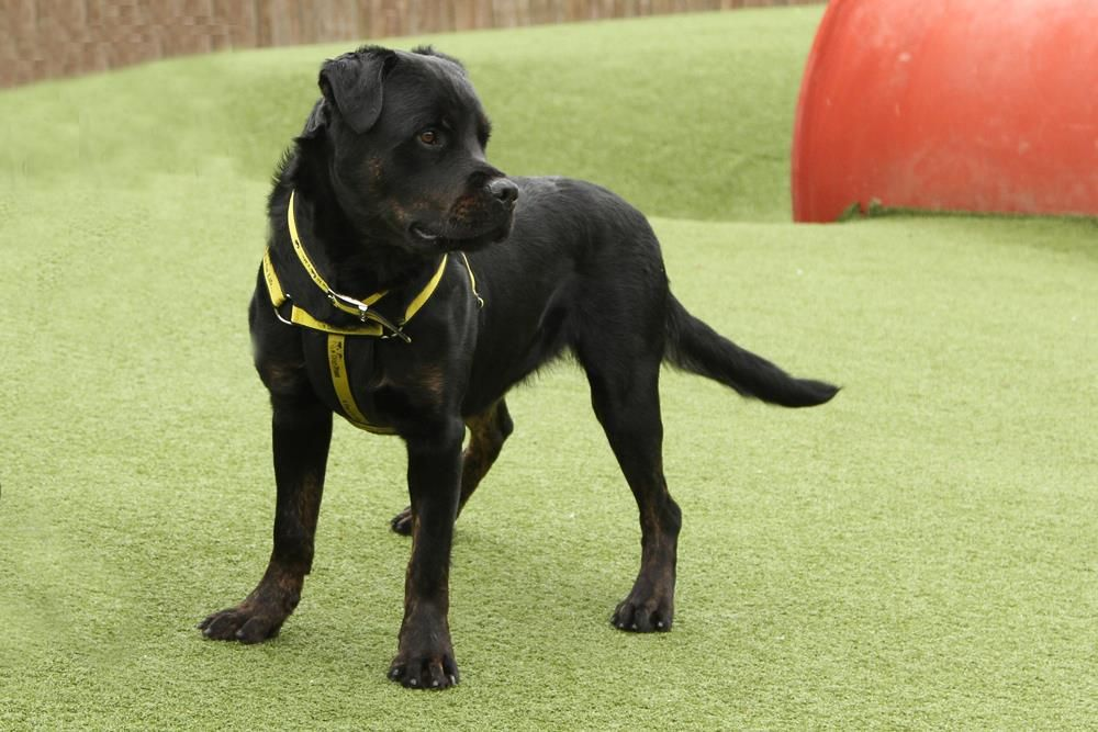 Looking At Diesel Dogstrust Rehomeadog Dogs Dog Friends Rehoming