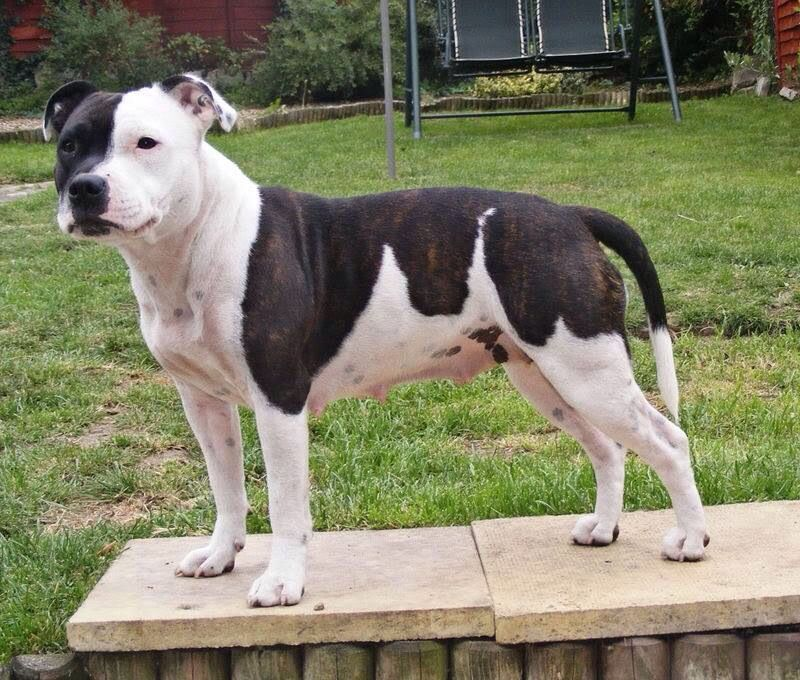 Beautiful Black White Staffy 3 Bully Dog Dogs Dog Facts