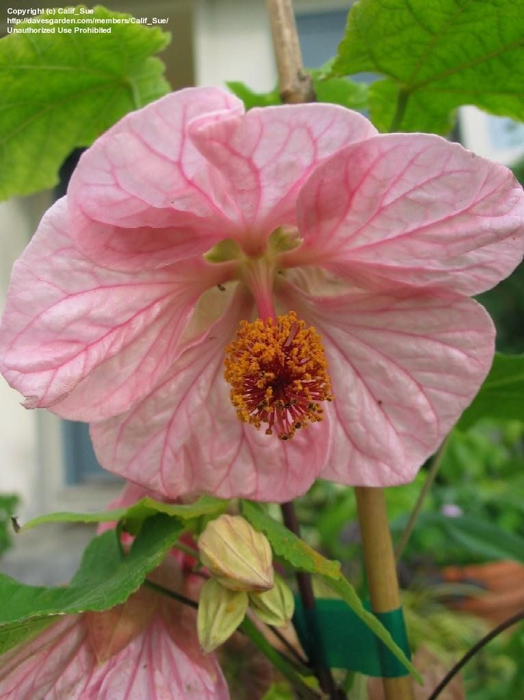 View picture of abutilon flowering maple mobile pink abutilon view picture of abutilon flowering maple mobile pink abutilon at daves garden all pictures are contributed by our community mightylinksfo