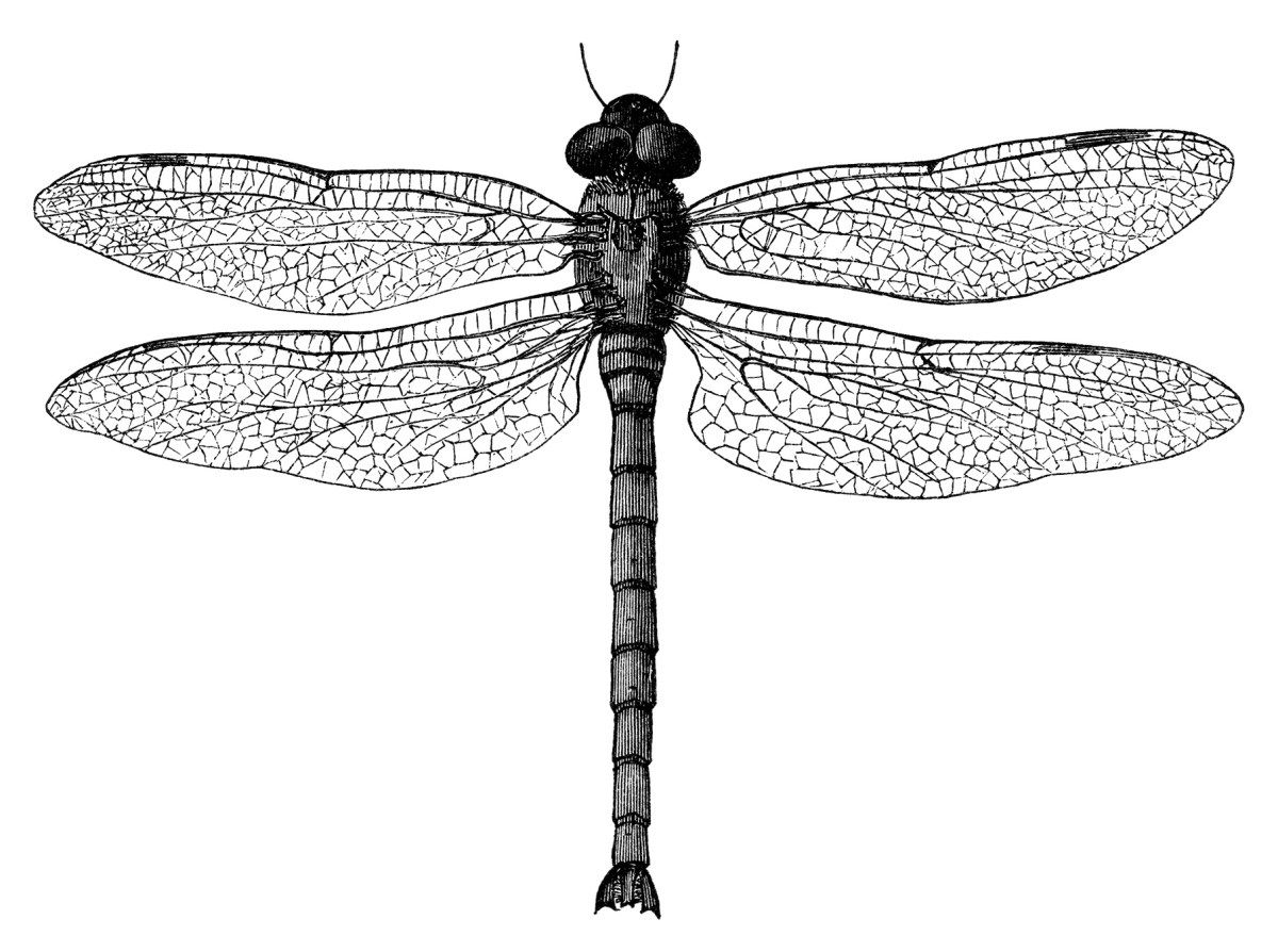 25+ Dragonfly clipart black and white ideas