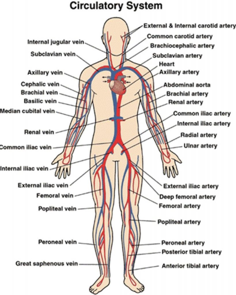 Circulatory System Diagram And Functions Block And Schematic