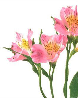 Symbolic Meaning Of Alstroemeria Teleflora Com Alstroemeria Peruvian Lilies Flower Identification