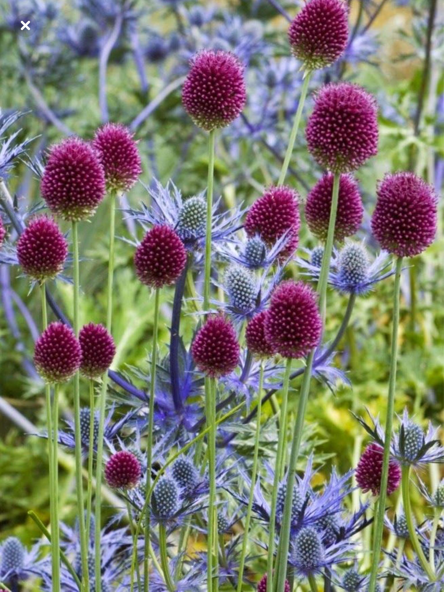 Sea Holly And Drumstick Allium Bulb Flowers Bulbous Plants Plants