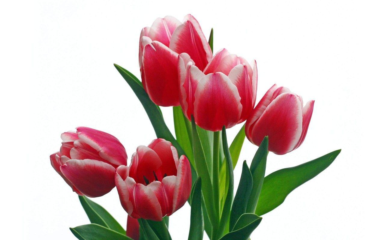 фото цветы тюльпаны на прозрачном фоне отличие маточного кровотечения