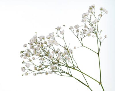 Growing Baby S Breath Caring For And How To Dry Your Own Baby S Breath Baby S Breath Plant Babys Breath Flowers Babys Breath