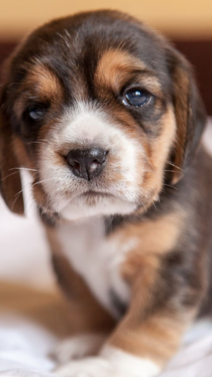 Beagle Puppy Dog Doggies And Kitties Dogs Puppies Really