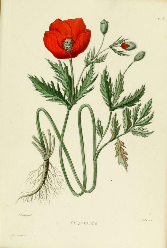 Christmas Rose Helleborus Niger
