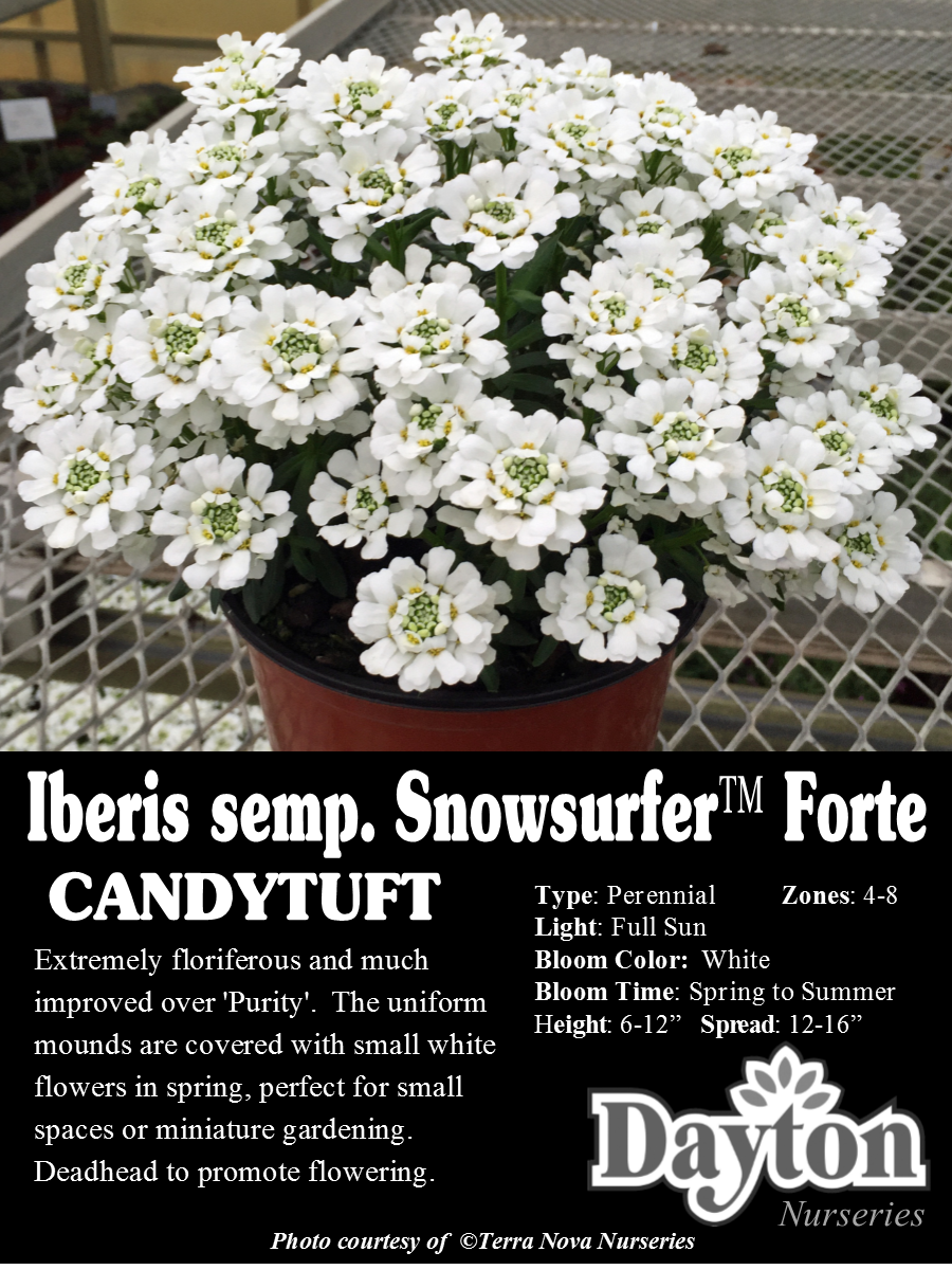 Iberis Snowsurfer Forte Candytuft Extremely Floriferous And Much Improved Over Purity The Uniform M Miniature Garden Small White Flowers White Flowers