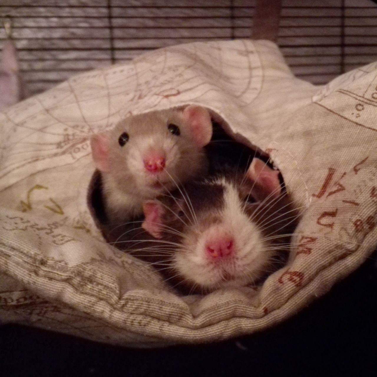 "rattitude ""Humboldt and Sirius "" Pet rats, Cute rats"