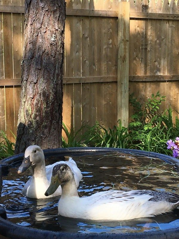 Do Ducks Need a Pond? Duck Pond Ideas | Duck pond ...