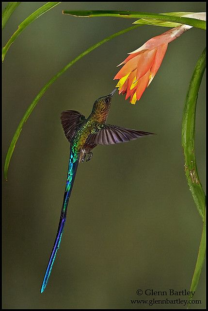Violet-tailed Sylph - 16