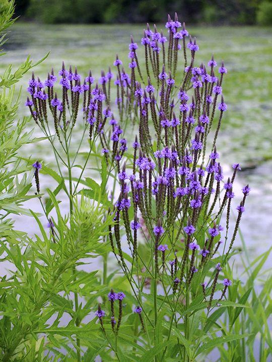 Blue Vervain: Verbena officinalis (English Vervain), Verbena