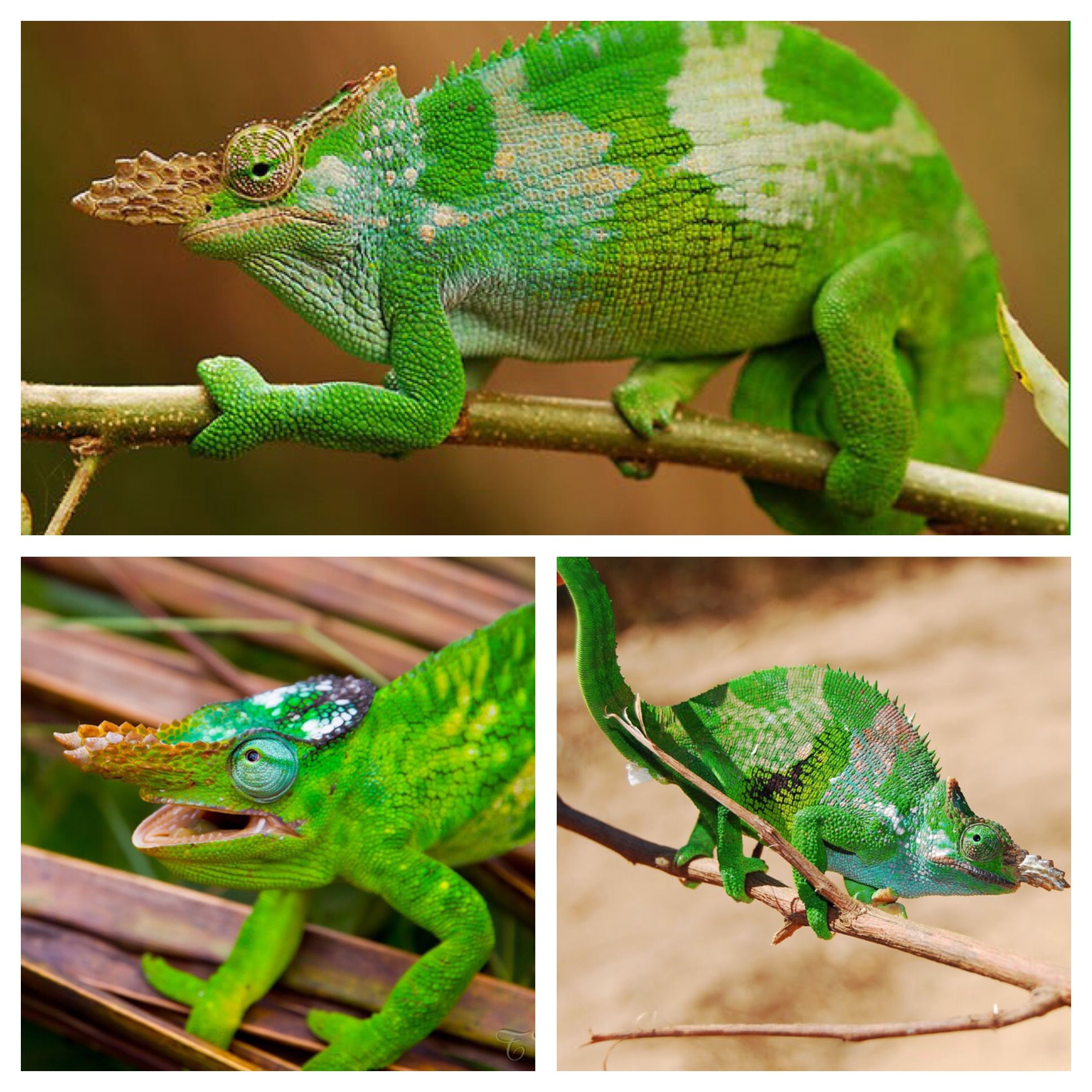 Fischer S Chameleon Is A Species Of Chameleon Endemic To Tanzania