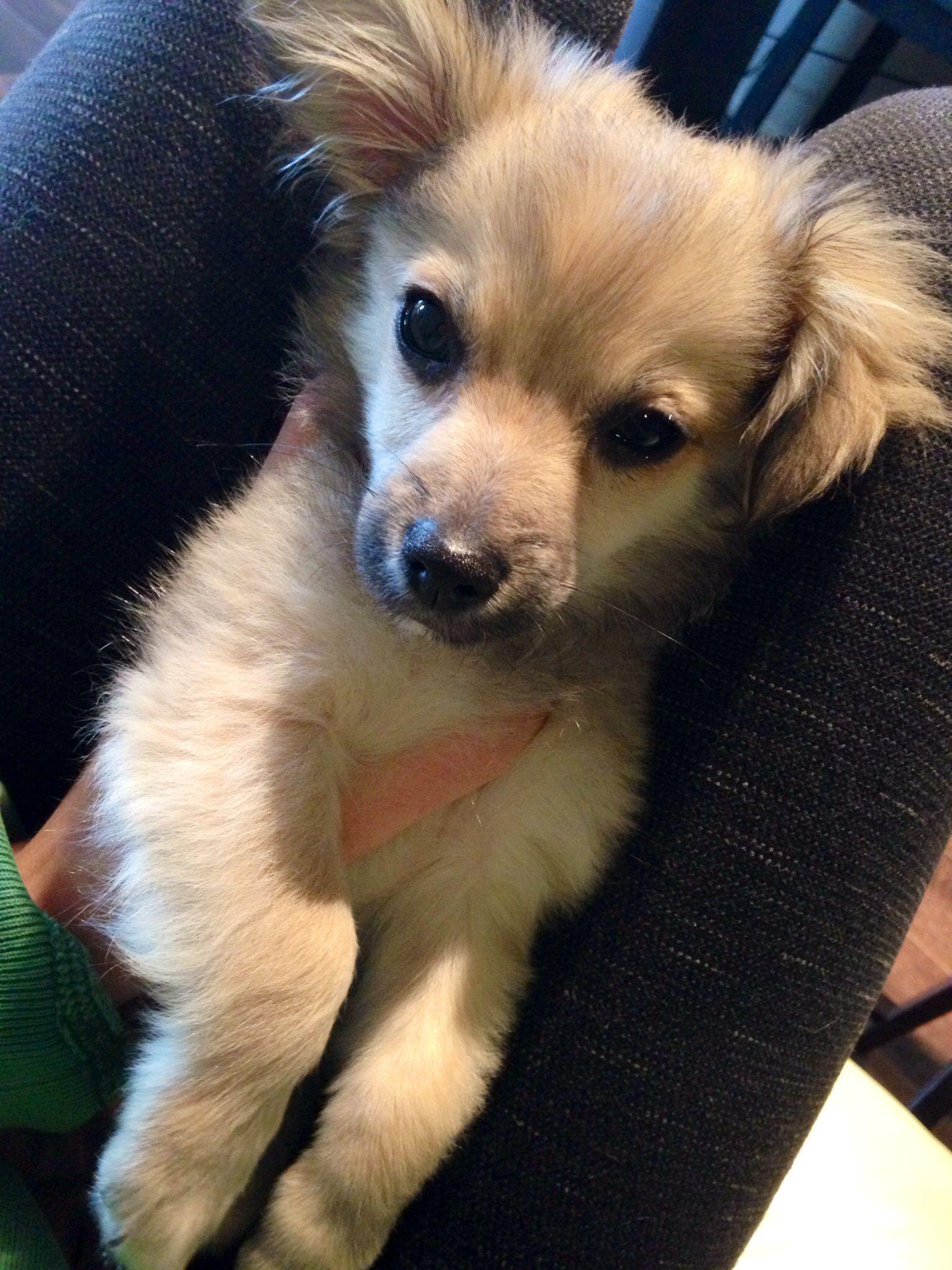 Mini Pomapoo Half Pomeranian Half Toy Poodle Pets Puppies Animals