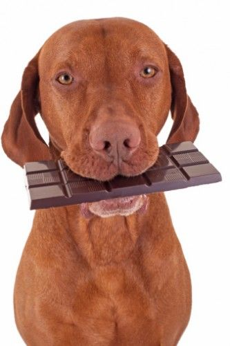 My Dog Ate A Chocolate Bar Should I Be Worried The Dogington