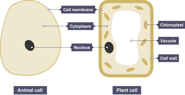 Animal and plant cells both have a cell membrane cytoplasm and a animal and plant cells both have a cell membrane cytoplasm and a nucleus plant cells also have chloroplasts a vacuole and a cell wall ccuart Gallery