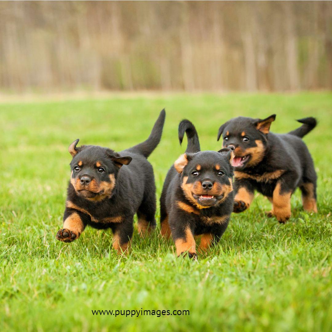 Rottweiler Puppies Running Rottweiler Puppies Puppy Dog Images