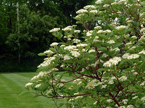 Quick Growing Trees Shrubs Breezy Hill Nursery Guide To Quick Growing Trees Red Twig Dogwood Twig Dogwood Yellow Twig Dogwood